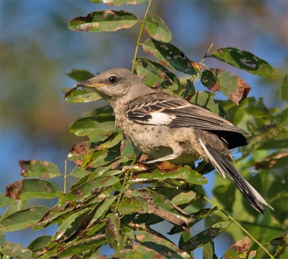 Mockingbird 106