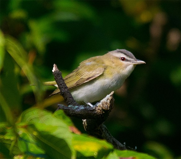 Red Eyed Vireo 308