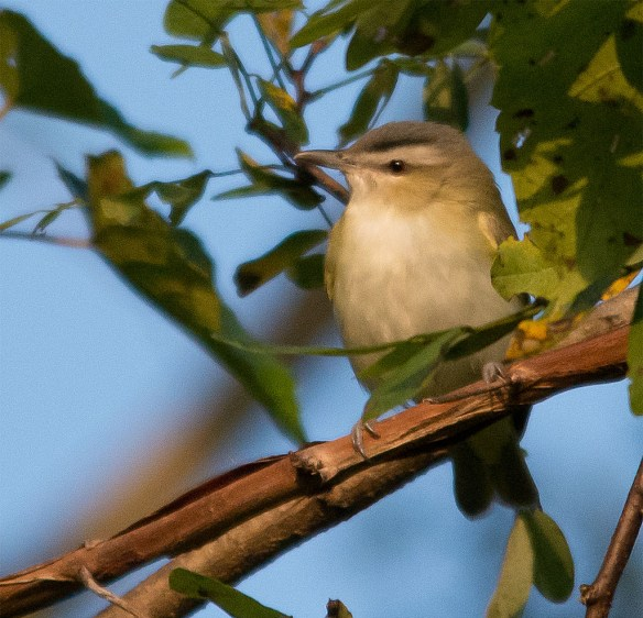 Red Eyed Vireos are still hanging around.