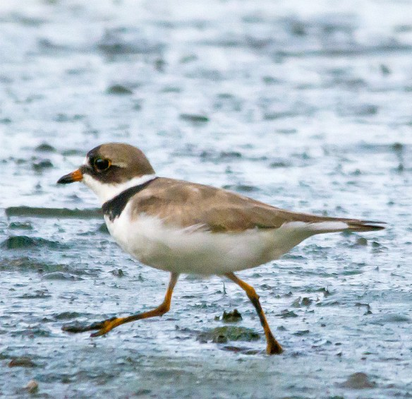 Semipalmated Plover 2