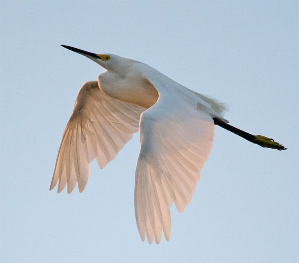 Snowy Egret 148
