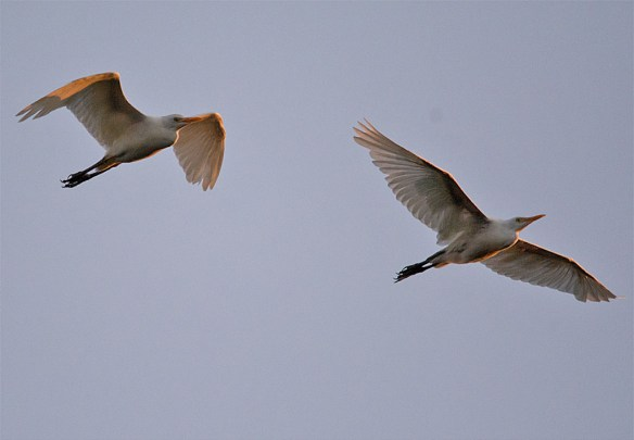 Snowy Egret 177