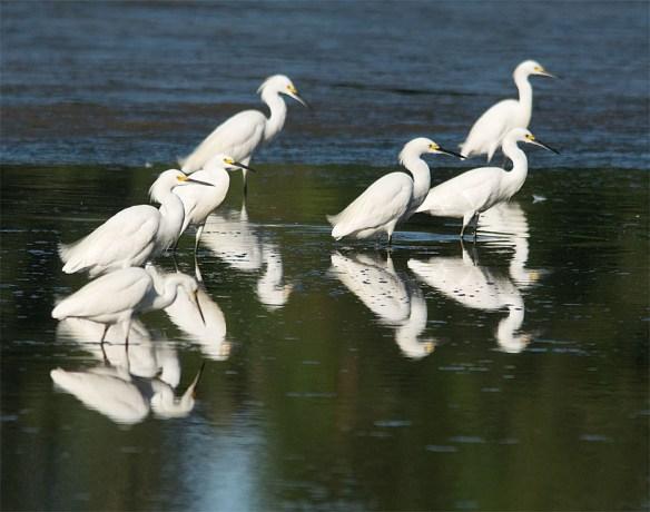 Snowy Egret 181