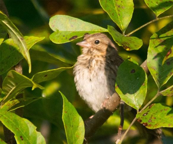 Song Sparrow 138