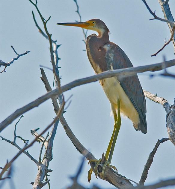 Tri Colored Heron 3