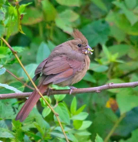 Cardinal 205