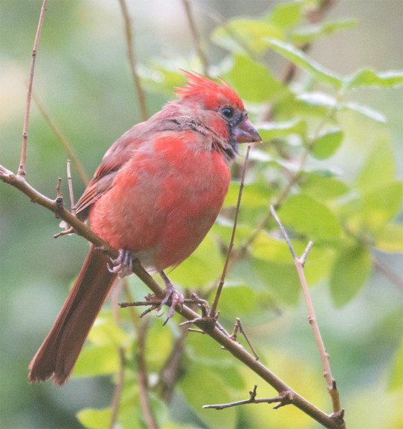 Cardinal 206
