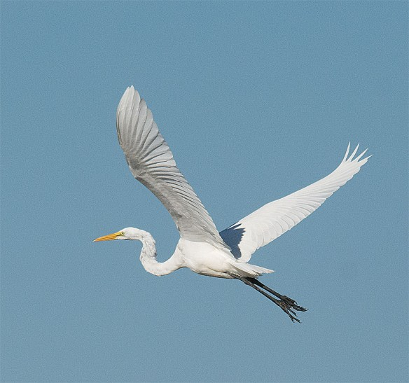 Great Egret 107