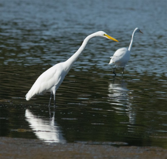 Great Egret 108