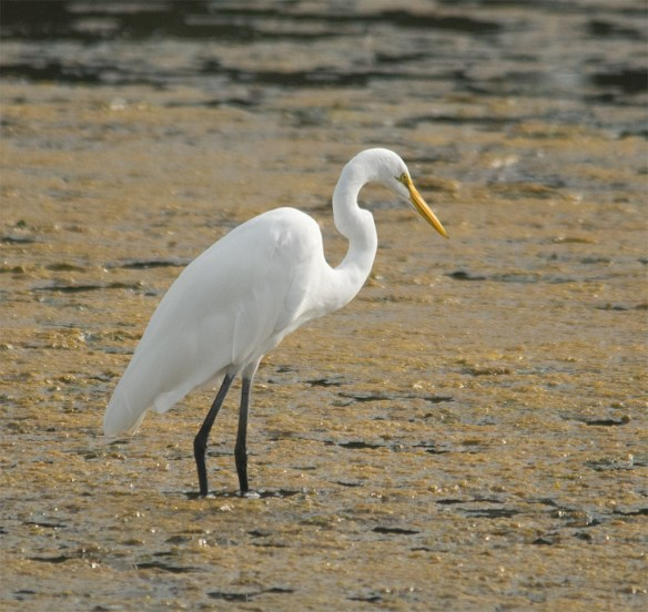 Great Egret 109