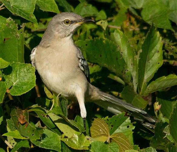 Mockingbird 107