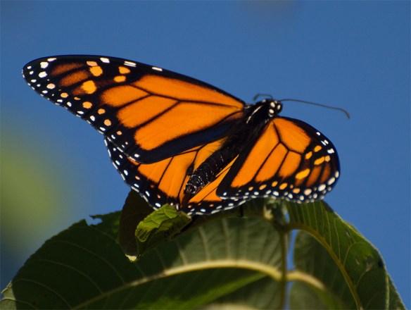 Monarch 15