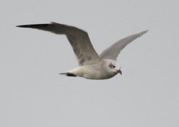 Seagull 103