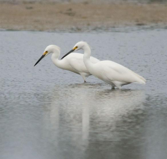 Snowy Egret 184