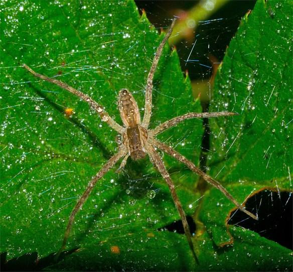 Spider 259