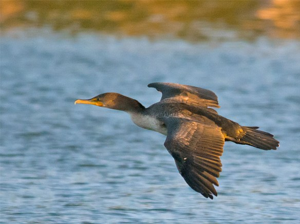 Double Crested Cormorant 119