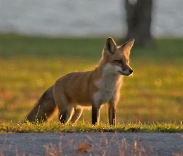 Fox 31