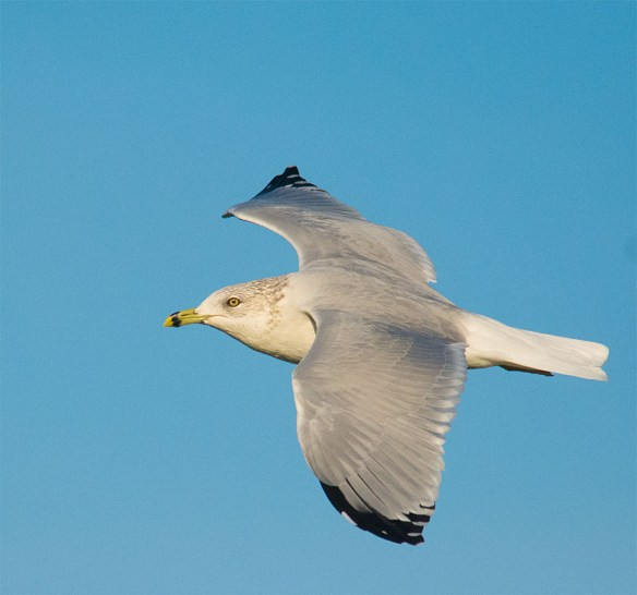 Ring Billed Gull 94