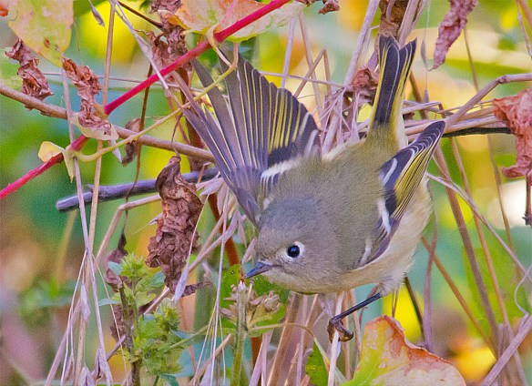 Ruby Crowned Kinglet 209