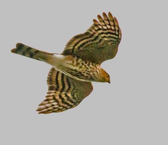 Sharp Shinned Hawk 51