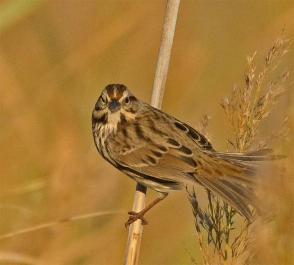 Song Sparrow 144