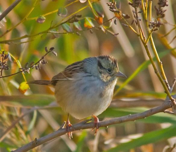 Swamp Sparrow 116
