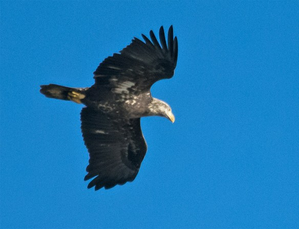 Bald Eagle 440