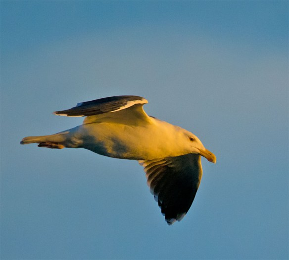 Black Backed Seagull 29