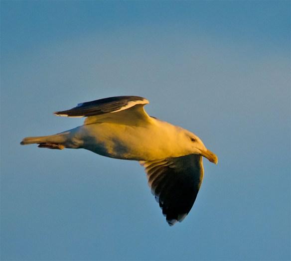 Black Backed Seagull 29