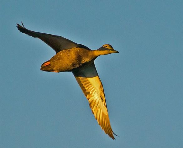 Black Duck 103