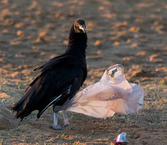 Black Vulture 103
