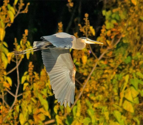 Great Blue Heron 360