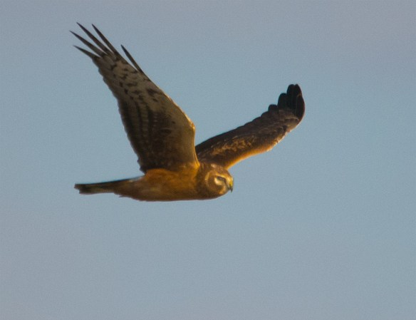 Northern Harrier 200
