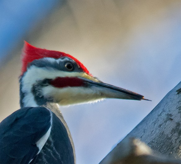 Pileated Woodpecker 112