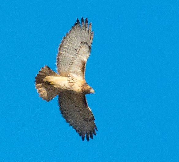 Red Tailed Hawk 110