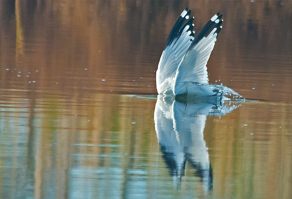 Ring Billed Gull 101