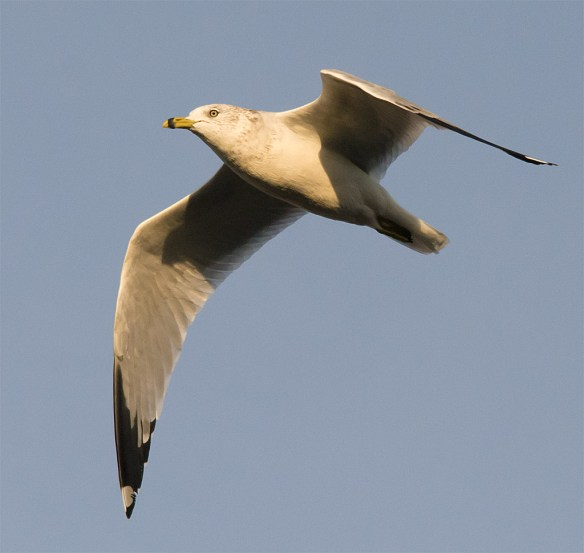 Ring Billed Gull 99