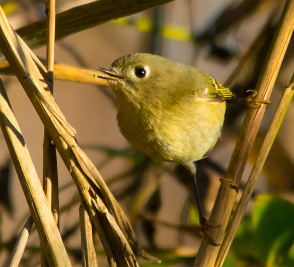 Ruby Crowned Kinglet 211