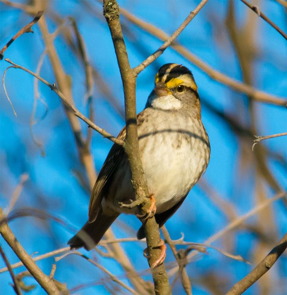 White Throated Sparrow 214