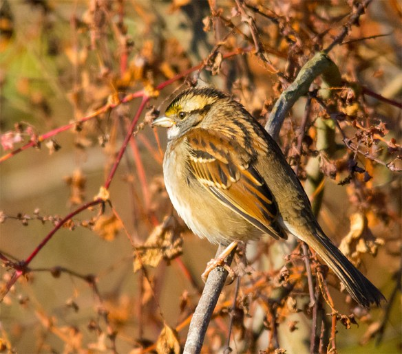 White Throated Sparrow 216