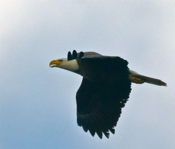 Bald Eagle 447