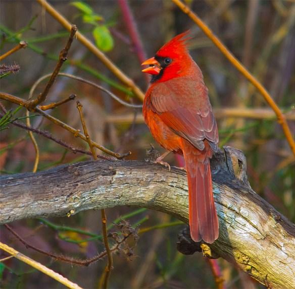 Cardinal 209