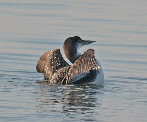 Common Loon 158
