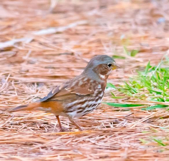 Fox Sparrow 101