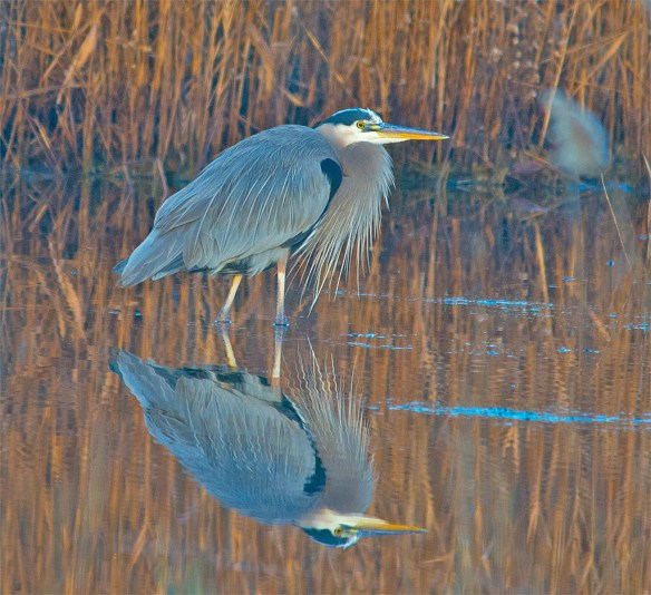 Great Blue Heron 367
