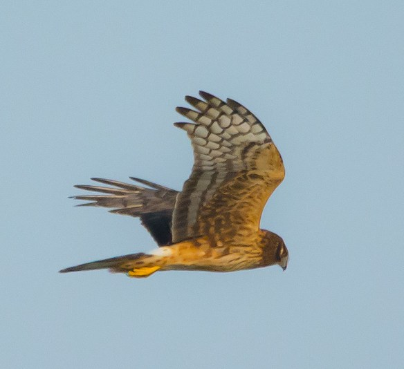 Northern Harrier 202