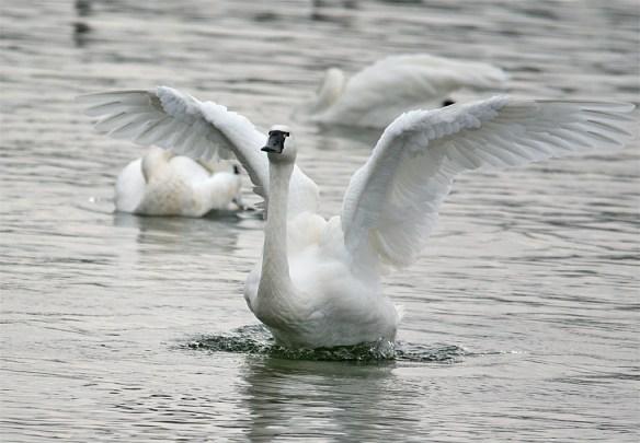 Tundra Swan 117