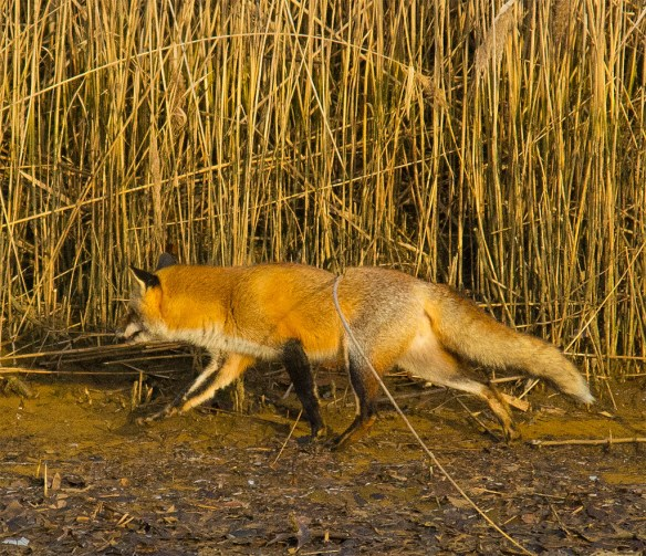 Fox 35