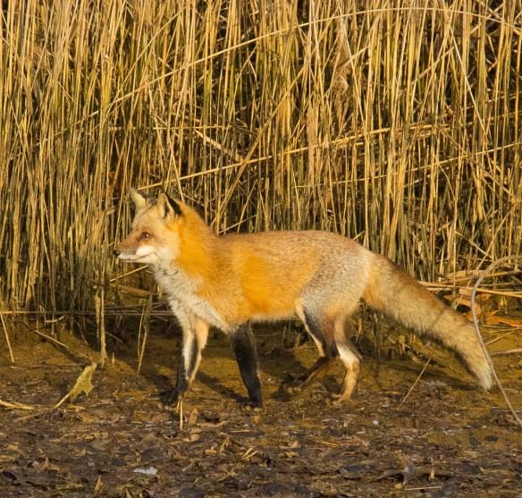 Fox 36