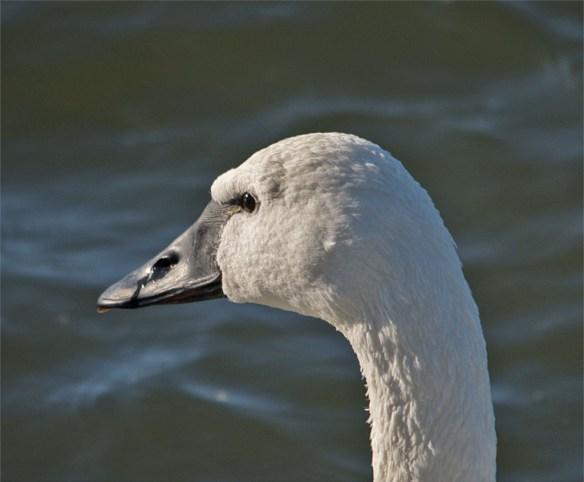 Tundra Swan 2016-6